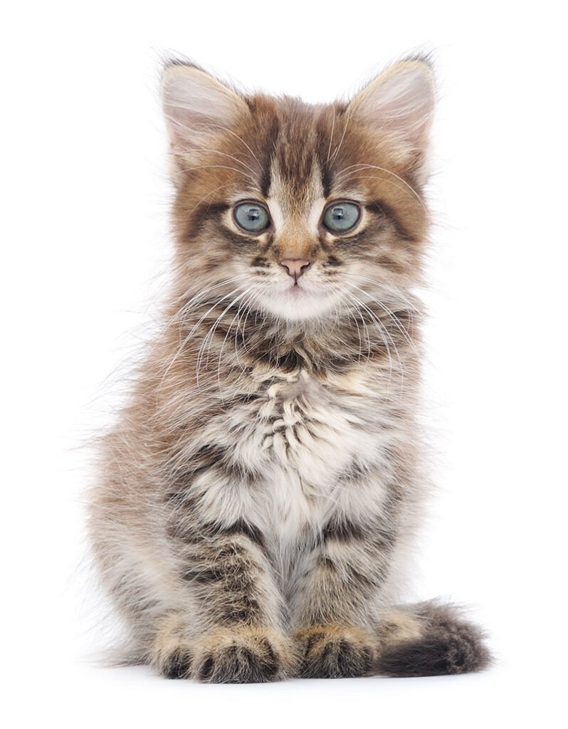 Cosmetic Solutions Private Label skin care manufacturer. Coming Soon image. Shows a cute Kitten.